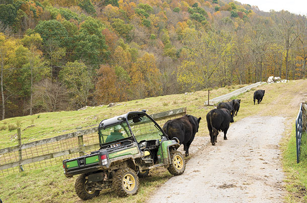 Hearding cattle with side-by-side