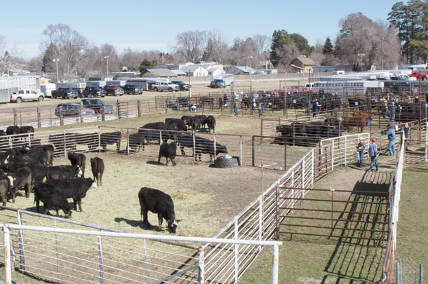 Heifers in holding pens