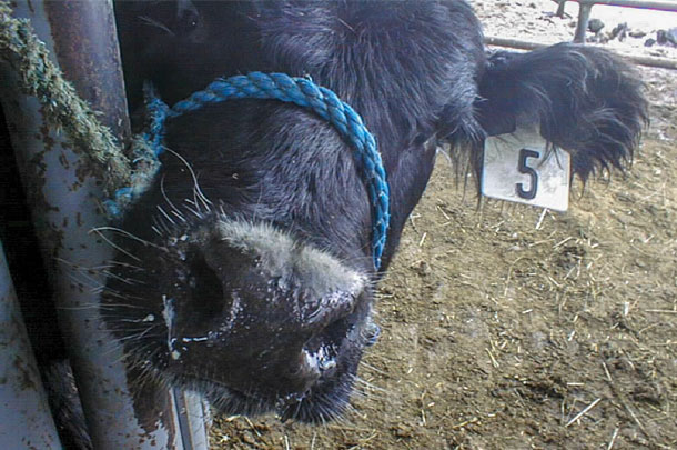 A calf with BRD and nasal discharge.