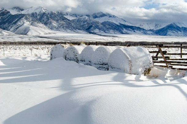 snow-covered bales