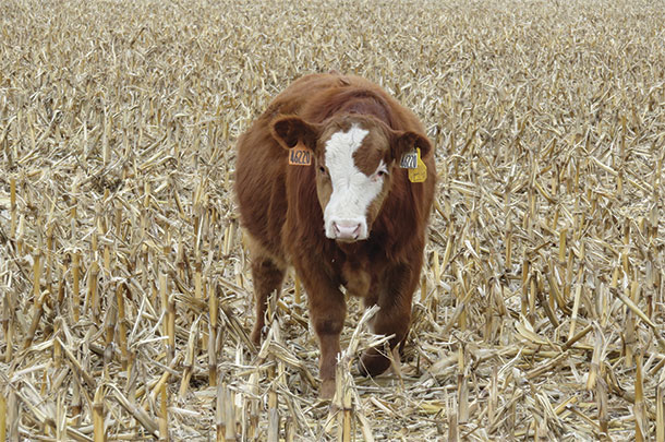 Steer backgrounded on corn residue and provided additional supplementation
