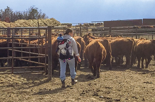 Craig Howard's sife and infant son moving heifers