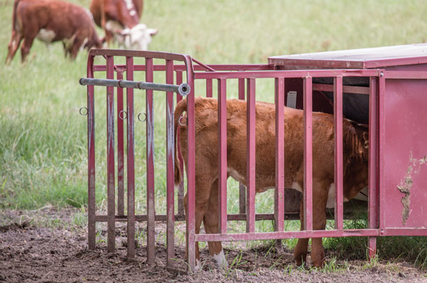 Calf eating supplemental feed