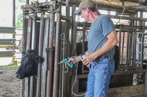 Giving a calf an injection