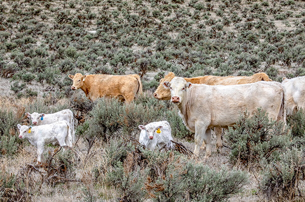 cattle in sagebrush