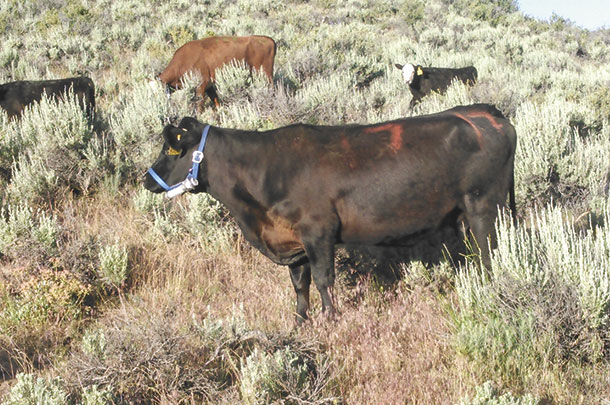A cow with a grazing halter