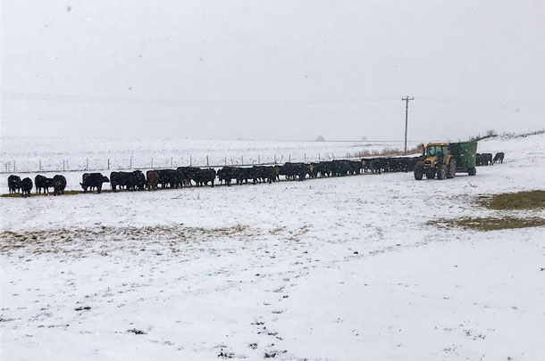 feeding cattle in the winter