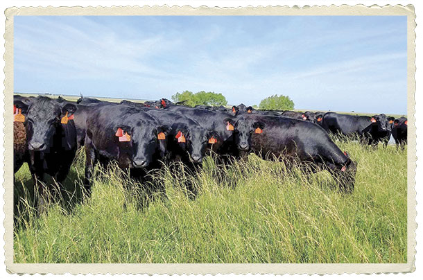 Registered Angus heifers raised on the Spur Ranch