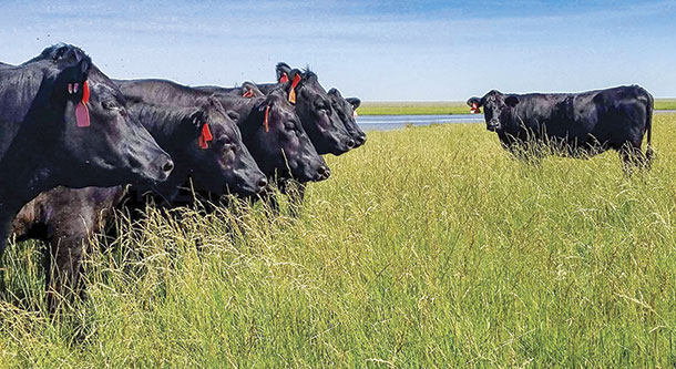 The average yearly rainfall in the northeastern corner of Oklahoma provides plenty of grass for grazing