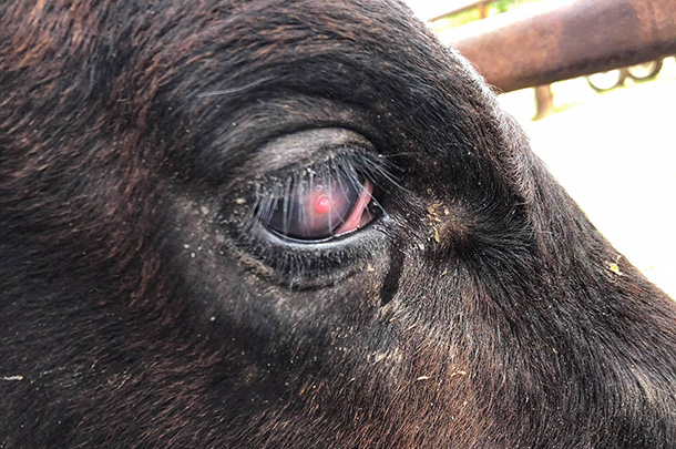 Pink Eye Your Cattle Will See The Difference Progressive Cattle