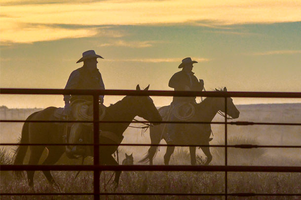 working cattle at dusk