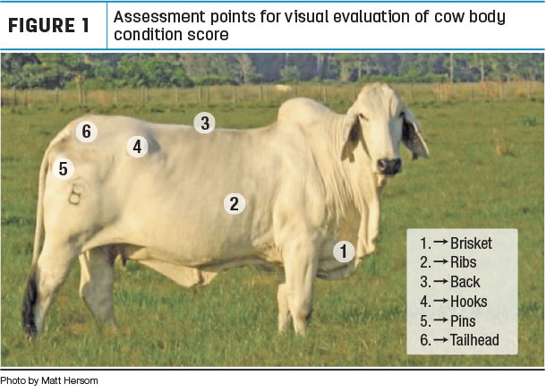 Assessment points for visual evalution of cow body condition score