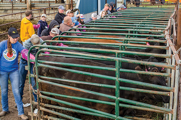 Beef producers practice A.I. on cows