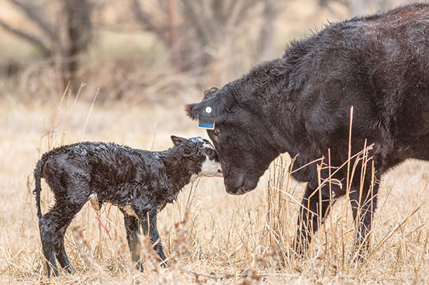 Cow with new calf
