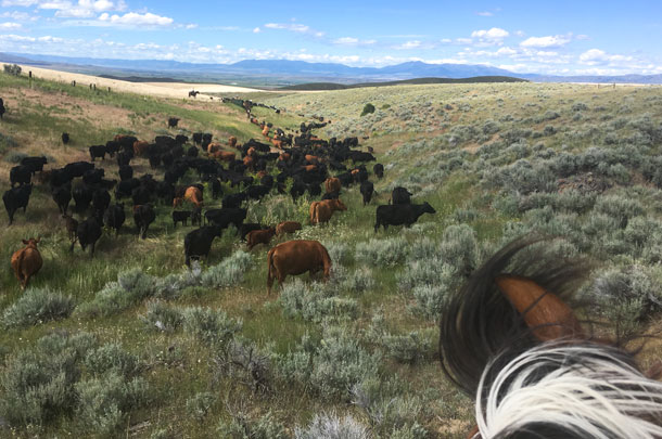 driving cattle through sage brush