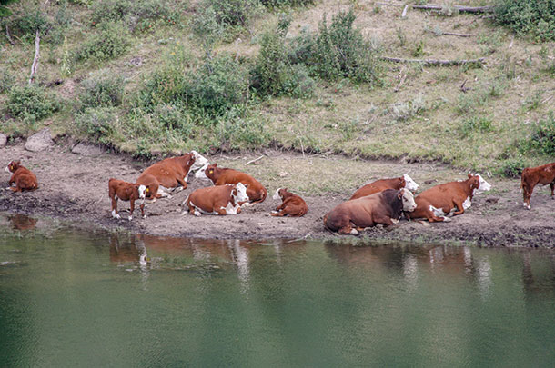 Cattle laying next to stock pond
