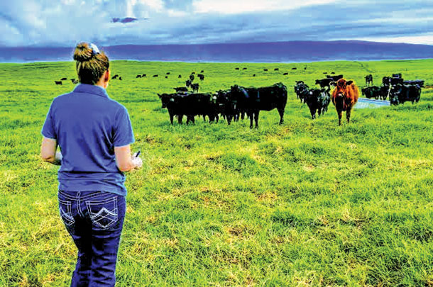 An auditor looks at cattle in a verification program in Hawaii