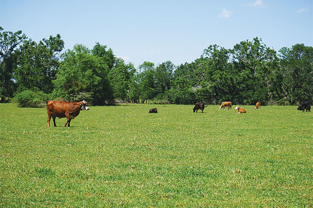 Cattle just before rotation to a fresh pasture