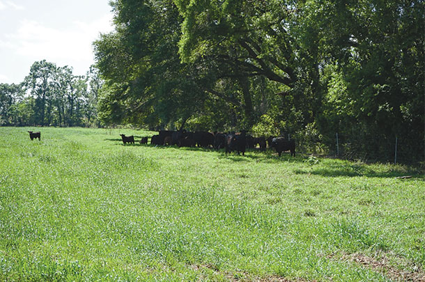 Shade in Florida pastures is critical
