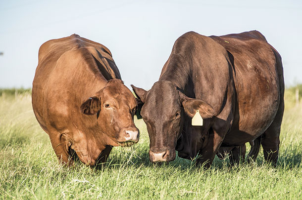 Two purebred Beefmaster cattle