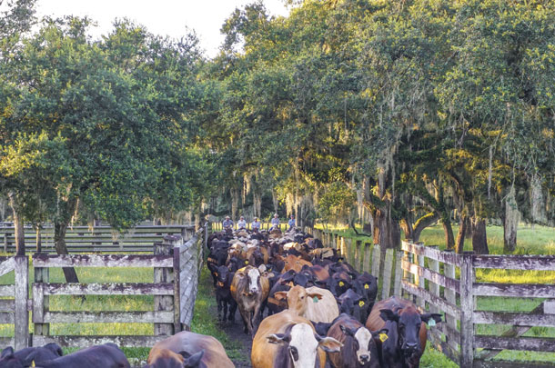 Low-stress cattle handling is important to the Kempfer family