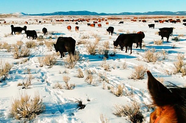 Cattle grazing sagebrush