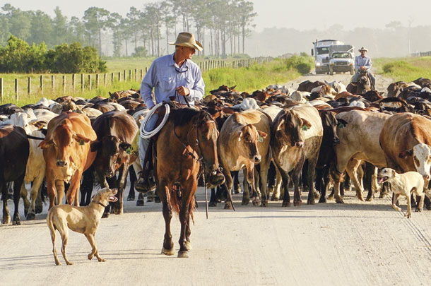 Henry Kempfer leads cattle to a different pasture rotation