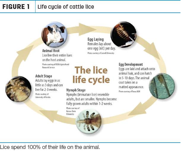 Life cycle of cattle lice