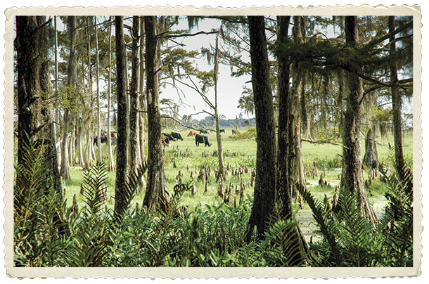 Florida cattle grazing