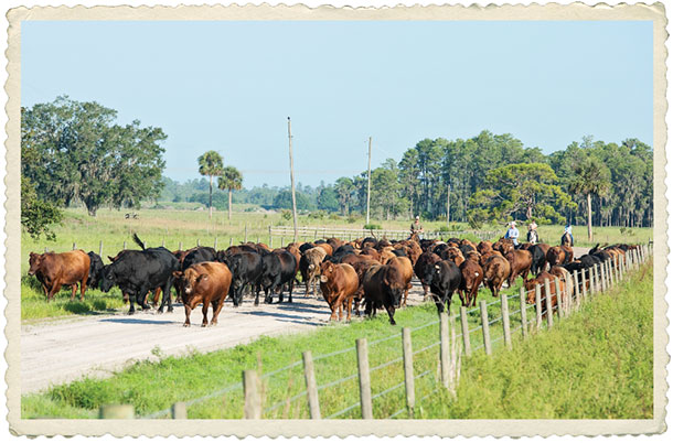 Herding cattle