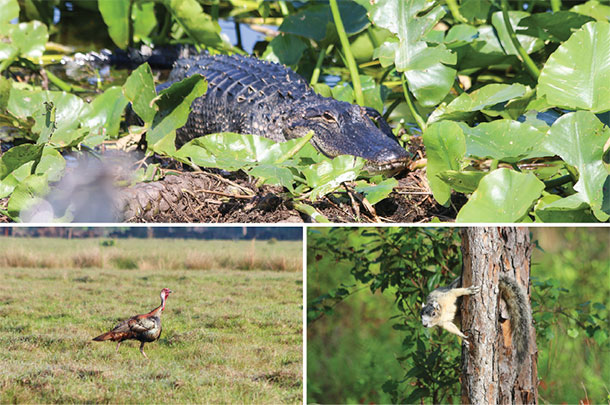 Gators, Oseceola turkeys and endangered Sherman fox squirrels are at home at Lightsey cattle Co