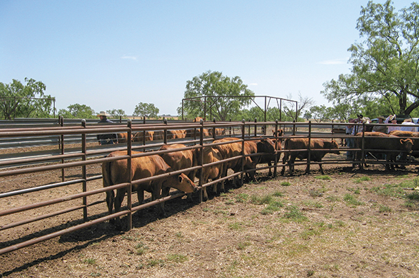Cattle in holding pens