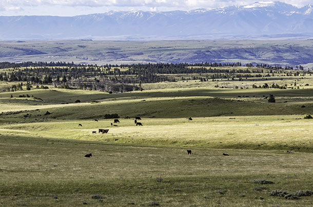Cows grazing on the ranch