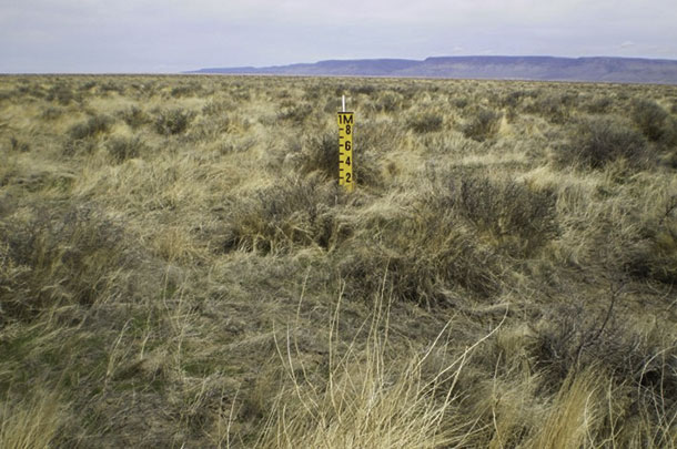 Cheatgrass on BLM that was not grazed